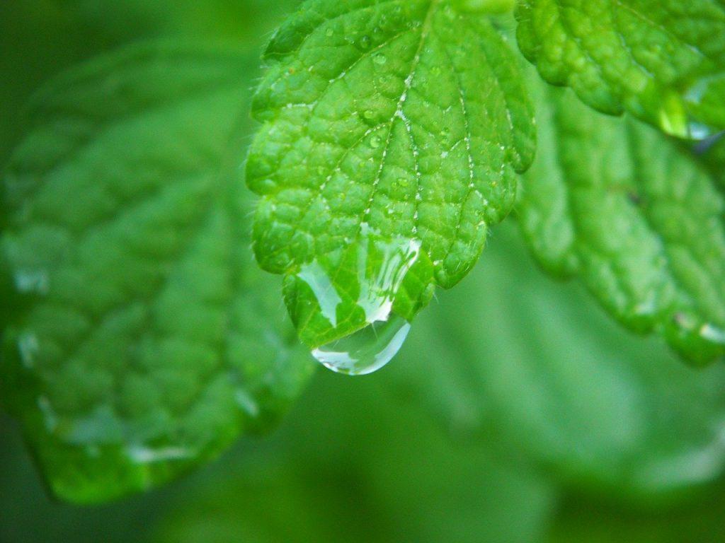Mélisse plante médicinale avec goutte deau